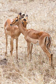Two Grants gazelles — Stock Photo