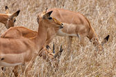 Grants gazelles standing in long grass — Stock Photo