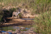 Kudu animal near a river bed — Stock Photo