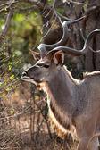 Nyala antelope in the bushes — Stock Photo