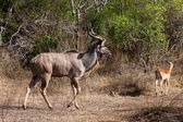 Nyala and Grant's antelope walking in the bushes — Stock Photo