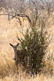 Grants gazelle standing near a bush — Stock Photo