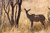 Grants gazelle standing in long grass — Stock Photo