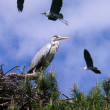 Stock Photo: Grey Heron (Ardecinerea)