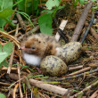 The nestling of the Common Tern (Sterna hirundo) - Stock Photo