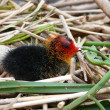 The nestling of the Eurasian Coot (Fulica atra) - Stock Photo