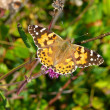 Stock Photo: Painted Lady (Vanesscardui)