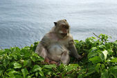 Grey monkey (macaque) in the Ulu Watu temple in Bali - Indonesia — Foto de Stock