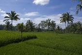 Green sawas (ricefields) in Bali - Indonesia — Foto de Stock