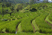 Hills with green sawas (ricefields) in Bali - Indonesia — Stock Photo