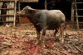 Funeral ceremony in Tana Toraja, Sulawesi: slaughtering water buffalos — Stock Photo