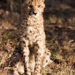 Wild Cheetah Cub - Stock Photo