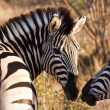 Stock Photo: Two Zebras Touching Noses