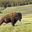 Male Buffalo In Yellowstone — Stock Photo