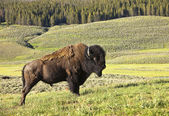 Mužské buffalo v yellowstone — Stock fotografie