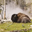 Buffalo Near Hot Spring — Stock Photo