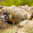 Royalty-Free Stock Photo: Baby Yellow-Bellied Marmot