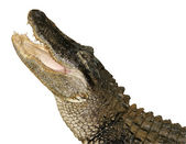 Snapping Alligator, Isolated — Stock Photo