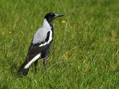Australian Magpie — Stock Photo