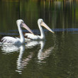 Two Pelicans — Stock Photo #10143615