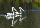 Two Pelicans — Stock Photo