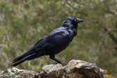 Australian Raven — Stock Photo