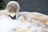 Mute Swan Cygnet — Stock Photo
