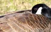 Canada Goose — Stock Photo