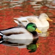 Ducks That Are Different - Stockfoto