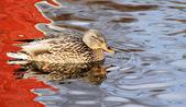 Pato em águas belas — Fotografia Stock
