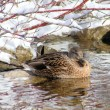 Stock Photo: Hiding Mallard