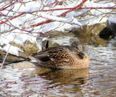 Hiding Mallard — Stock Photo