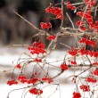 Highbush Cranberry - Viburnum trilobum — Stock Photo #8913829