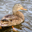 Mallard Duck Female — Stock Photo #8994605