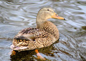 Mallard Duck Female — Stock Photo