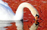 Beautiful Swan and Reflection — Stok fotoğraf