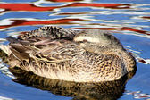 Mallard Duck Resting — Stock Photo