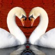Swan Love — Stock Photo