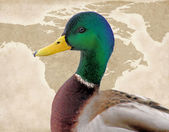 Birds Of North America - The Mallard Duck — Foto de Stock