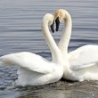 Courtship Dance Of Two Trumpeter Swans — Stock Photo #9671512