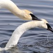 Stock Photo: Trumpeter Swans Mating