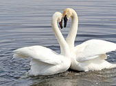 Courtship Dance Of Two Trumpeter Swans — Stock Photo