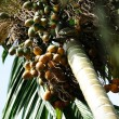 Betel Nut or ArecNut (Pinang Palm) — Stock Photo #10128452