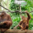Orangutans eating sugarcane - Stock Photo