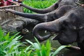 Elefantes asiáticos — Fotografia Stock