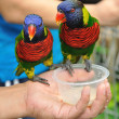 rainbow lory — Stock Photo #8088223