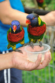 Rainbow Lory — Stockfoto