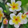 Frangipanis flowers — Stock Photo