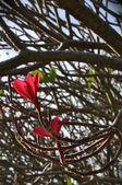 Frangipanis flowers — Stock Photo
