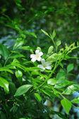 Jasmine flower in the garden — Stock Photo